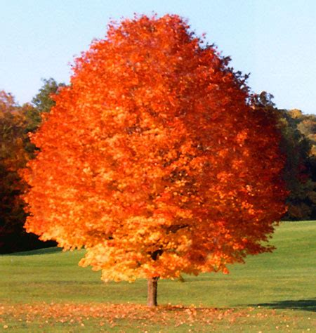 october maple trees for sale fast growing trees