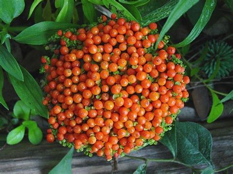 bead plant plantfiles pictures pin cushion plant coral bead plant