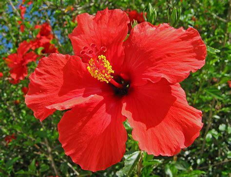 hibiscus flower unimaginative me hibiscus our national flower