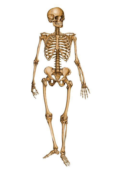 a skeleton human skeleton 12029879 by stockproject1 on deviantart