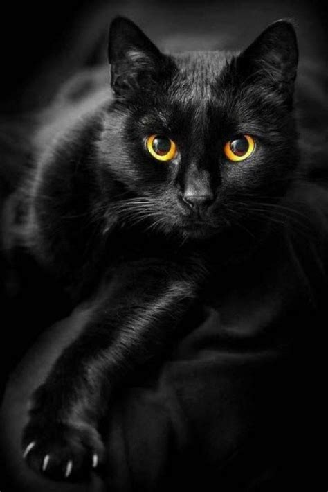 black cat 17 best ideas about black cats on black