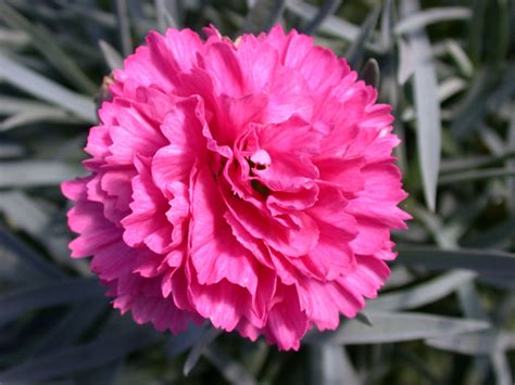 carnation pictures pics images and photos for inspiration
