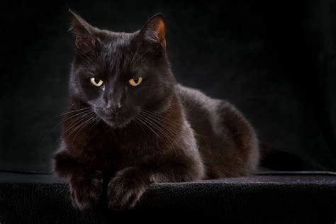 cat black do black cats bring bad luck wonderopolis