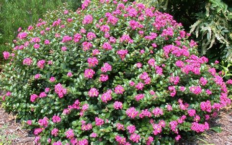 cherry tree zone 9b the most cold tolerant hardy crape myrtle trees shrubs bushes wilson bros gardens