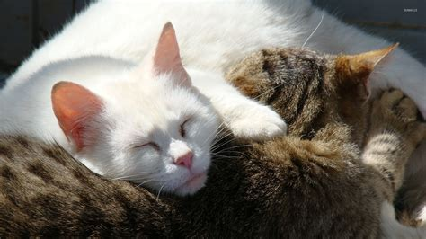 Cat Wallpaper 1920x1080 by White Cats Wallpaper 75 Images