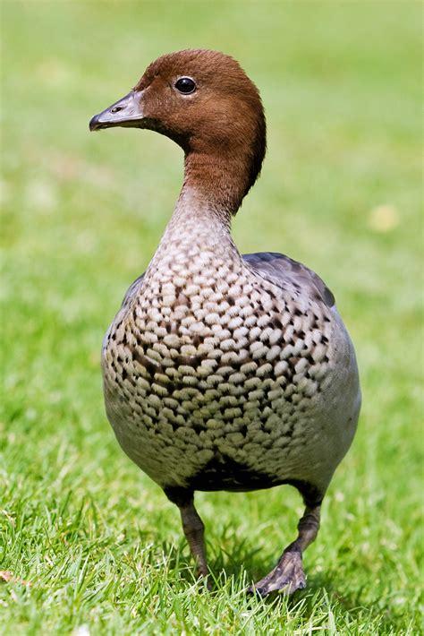 the australian woodworker file australian wood duck jpg wikimedia commons
