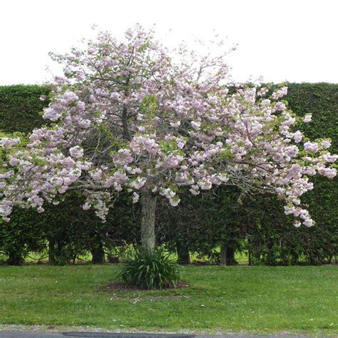 prunus shimidsu moonlight cherry tauranga tree co