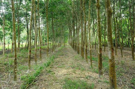tree of rubber st plantaci 243 n de 225 rboles de caucho o hevea brasiliensis en