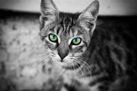 monochrome animals cat animals monochrome selective coloring wallpapers hd