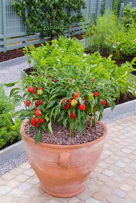 vegetable gardening in pots vegetable garden with pot of peppers plant flower