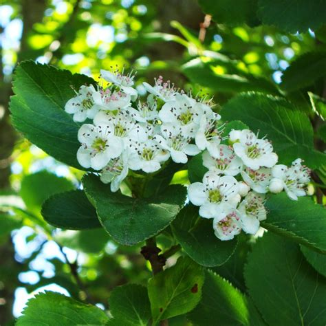 hawthorne tree liliana usvat reforestation and medicinal use of the