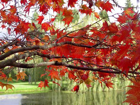 japanese maple tree zone 9 sacramento landscaping deciduous tree recommendations sacramento landscape