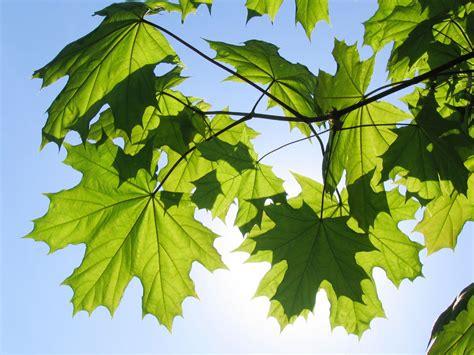 maple tree leaves maple tree varieties information about maple tree identification