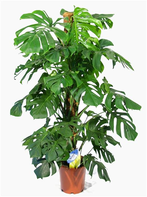 swiss cheese plant for sale buy now indoor plants