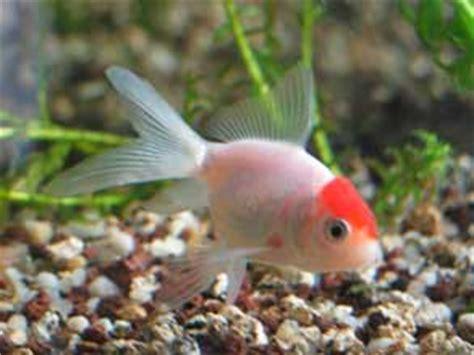 bassin les poissons d ornement poissons rouges carpes koi