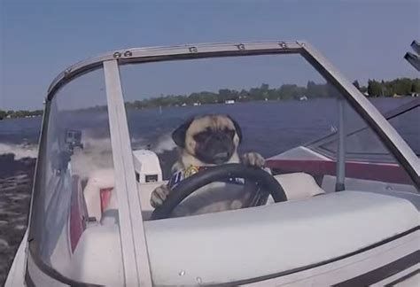 Boat Driving Dog by Atom The Pug Loves Driving His Speedboat Around The Lake