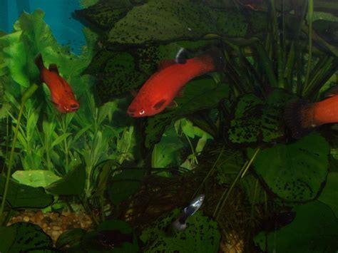 freshwater aquarium fish quiz freshwater aquarium fish 2017 fish tank maintenance