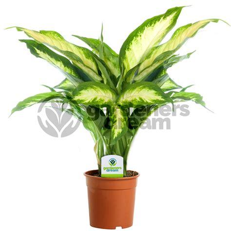 gardenersdream indoor plant mix 3 plants house
