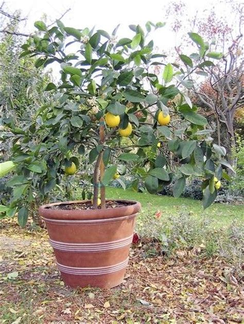 17 best images about lemon tree on planters wine barrels and fruit trees
