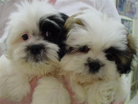 bichon poodle mix puppies breeds picture