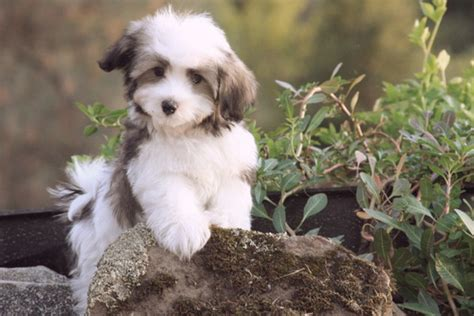 Dogs That Dont Shed Their Fur by Bichon Breeds Of Dogs That Dont Shed Foto 2017
