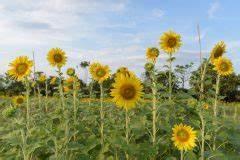 Sind Ranunkeln Winterhart : sonnenblumen pflanzen wann ist der beste zeitpunkt ~ Markanthonyermac.com Haus und Dekorationen