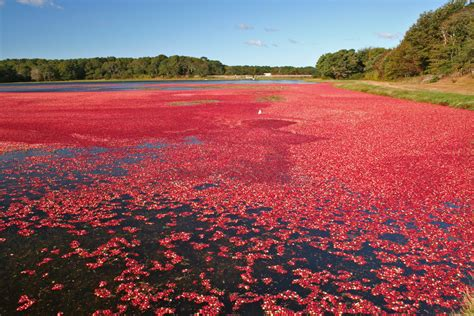 Cape Cod Cranberry Harvest  Harwich 2009  © Bruce Chr