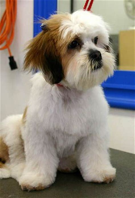 grooming lhasa apso and lhasa on