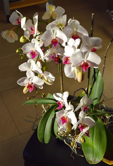 comment rempoter une orchid 233 e avec quel substrat