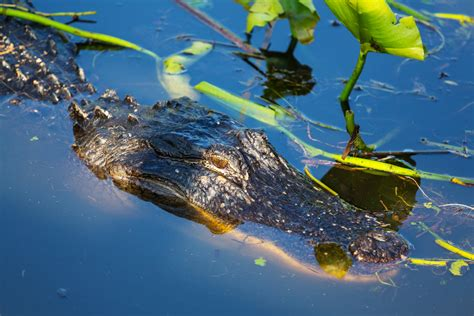 Airboat West Palm Beach by Everglades Airboat Rides And Tours In West Palm Beach
