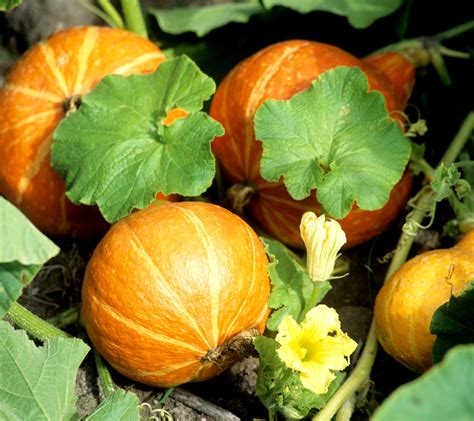potimarron planter et cultiver ooreka