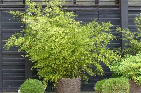 bambous planter tailler entretenir promesse de fleurs