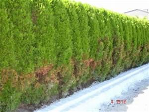 Wann Thuja Schneiden : thuja smaragd schneiden thuja smaragd schneiden lebensbaum hecke thuja smaragd 1a lebensbaum ~ Markanthonyermac.com Haus und Dekorationen