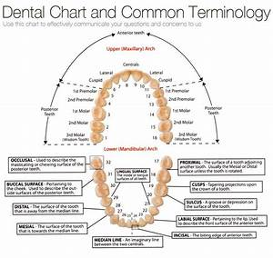 chart of tooth numbers and dental terms Archives - Tribeca ...