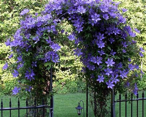 Ornamental Plants What Is Climber Plants?