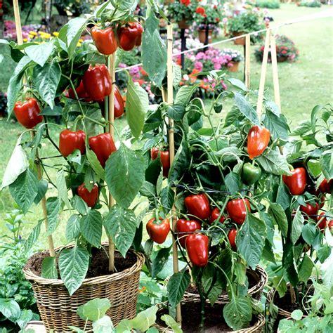 piment planter et cultiver ooreka
