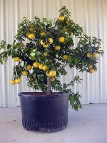patio citrus for
