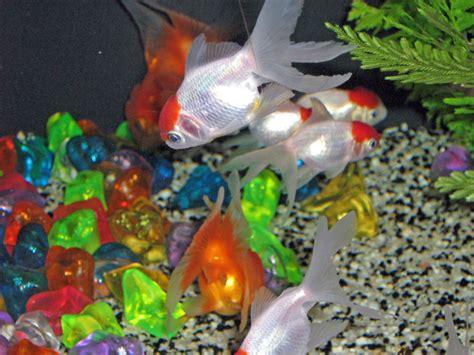 poisson aquarium eau froide douce poisson naturel