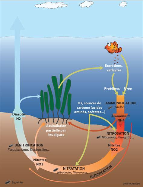 cycle de l azote dys positif