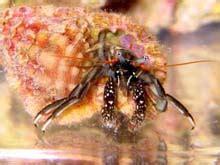 le bernard l hermite aquarium r 233 cifal aquarium marin aquarium eau de mer reefguardian