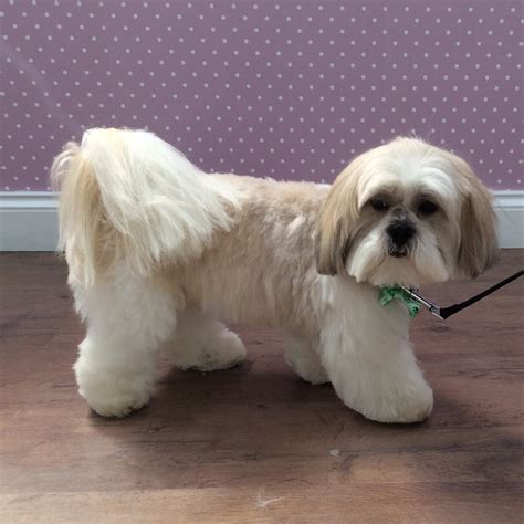 lhasa apso grooming styles photos breeds picture