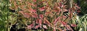Euphorbia, Variegated Devil's Backbone, Japanese ...