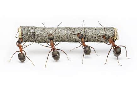 contre les fourmis 5 solutions naturelles