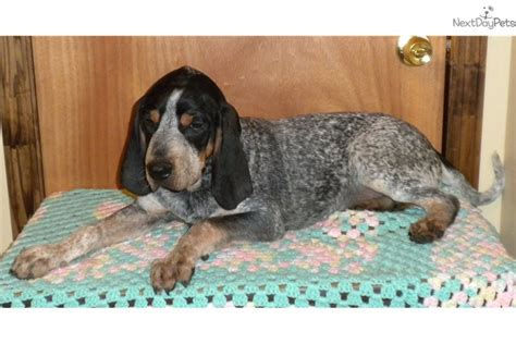 ready for adoption catahoula leopard bluetick coonhound breeds picture