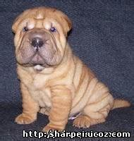 our puppies shar peis mini peis and caucasian shepherd breeds picture