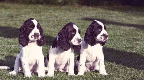 how much do springer spaniels shed petcarerx