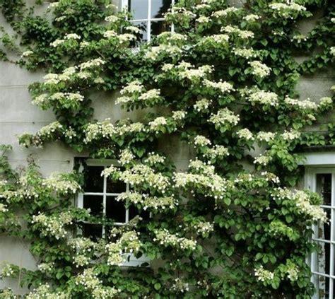 Seemannii Evergreen Climbing Hydrangea  Vines Pinterest