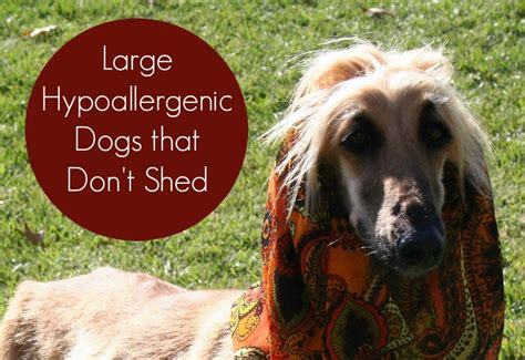 kid friendly dogs that dont shed large hypoallergenic dogs that don t shed vills