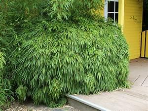 Immergrüner Sichtschutz Im Kübel : fargesia online kaufen im bambus shop ~ Whattoseeinmadrid.com Haus und Dekorationen