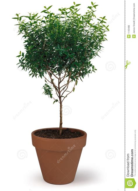 arbre mis en pot image libre de droits image 1143486